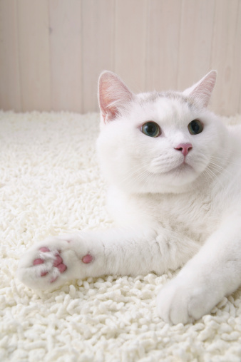 Mixed-Breed Cat「White cat lying down」:スマホ壁紙(3)