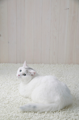 Mixed-Breed Cat「White cat lying down」:スマホ壁紙(5)