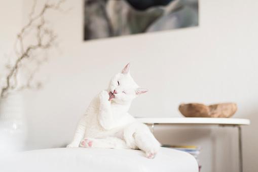 Grooming - Animal Behavior「White cat licking paw in the living room」:スマホ壁紙(6)