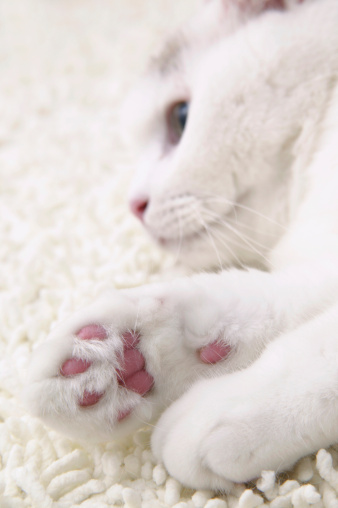 Mixed-Breed Cat「White cat lying down, close-up」:スマホ壁紙(18)