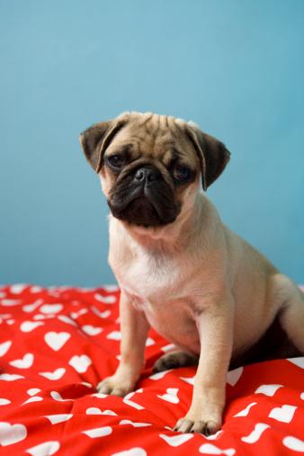 Duvet「Pug puppy sitting on bed」:スマホ壁紙(6)