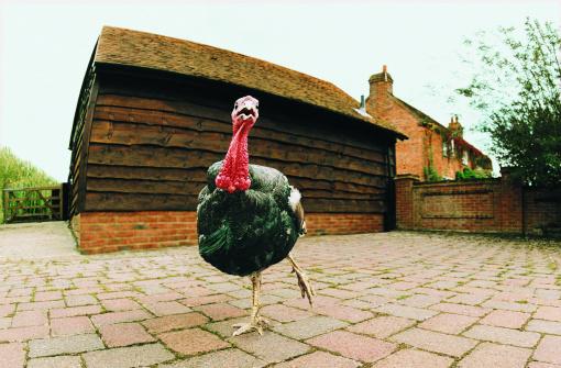 Turkey - Bird「Turkey」:スマホ壁紙(12)