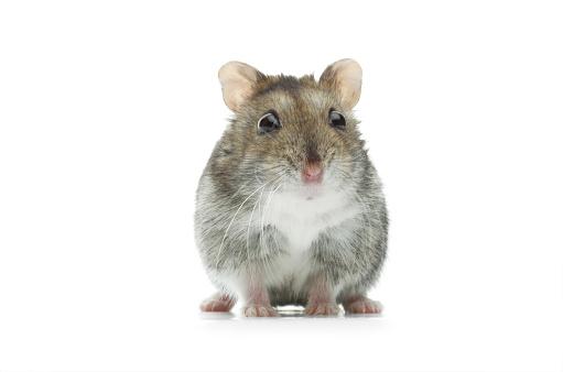 Stuffed Animals「astounded djungarian hamster」:スマホ壁紙(1)