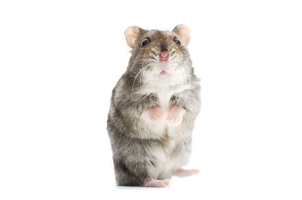 astounded djungarian hamster:スマホ壁紙(壁紙.com)