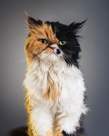 Bell「Vertical Portrait of a Persian Cat Looking at Camera.」:スマホ壁紙(19)