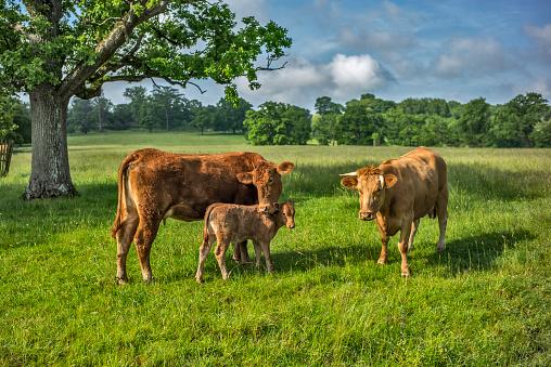 LOVE「Beef cattle and calf.」:スマホ壁紙(11)