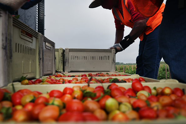 Tomato「Florida Agriculture Takes Precautions For Workers Amid COVID-19 Pandemic」:写真・画像(15)[壁紙.com]