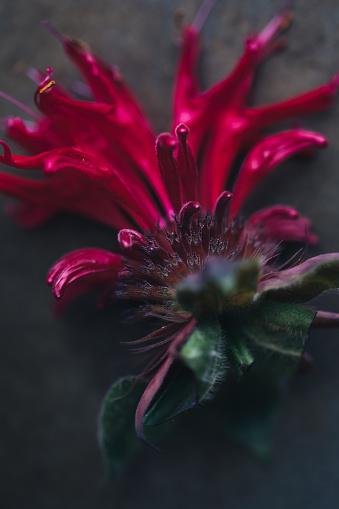 Bergamot「Edible Flower: Bergamot」:スマホ壁紙(7)