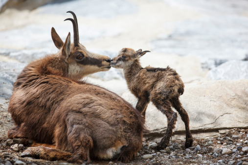 Greater Than Sign「First kiss for newborn chamois (Rupicapra Carpatica)」:スマホ壁紙(17)