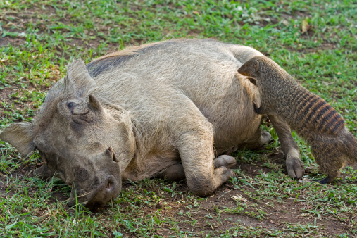 Queen Elizabeth National Park「Symbiosis- Banded mongoose cleaning skin of a Warthog」:スマホ壁紙(9)