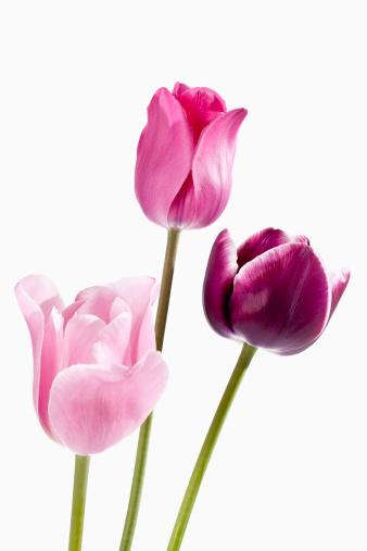 チューリップ「Pink and violet tulip flowers against white background, close up」:スマホ壁紙(12)