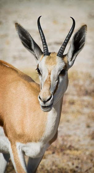 Horned「Springbok Antidorcas marsupialis in Etosha」:スマホ壁紙(12)