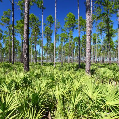 Frond「Pine Flatwoods - Florida」:スマホ壁紙(1)