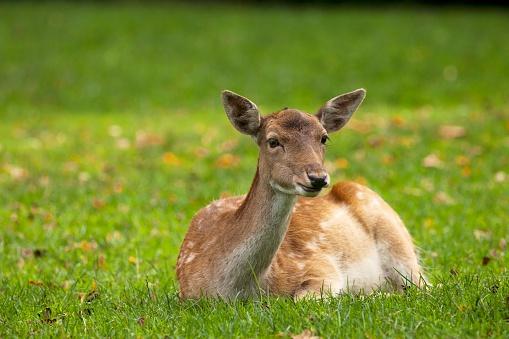 Doe「A deer (cervidae) sitting on the grass, north yorkshire, england」:スマホ壁紙(14)