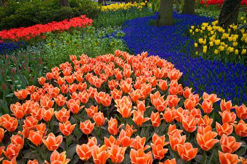 Keukenhof Gardens「Mass plantings of tulips in Keukenhof Gardens」:スマホ壁紙(13)