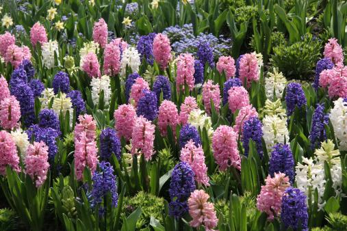 Planting「Mass Planting of Perfect Spring Hyacinths」:スマホ壁紙(19)