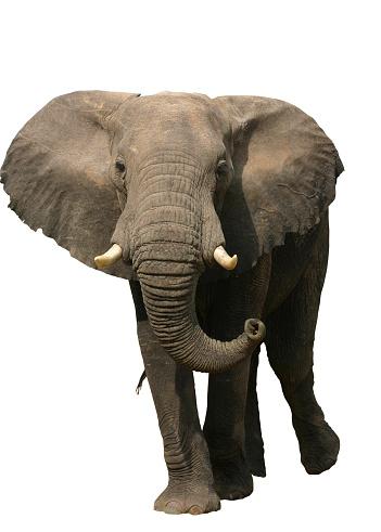 象「象」:スマホ壁紙(8)