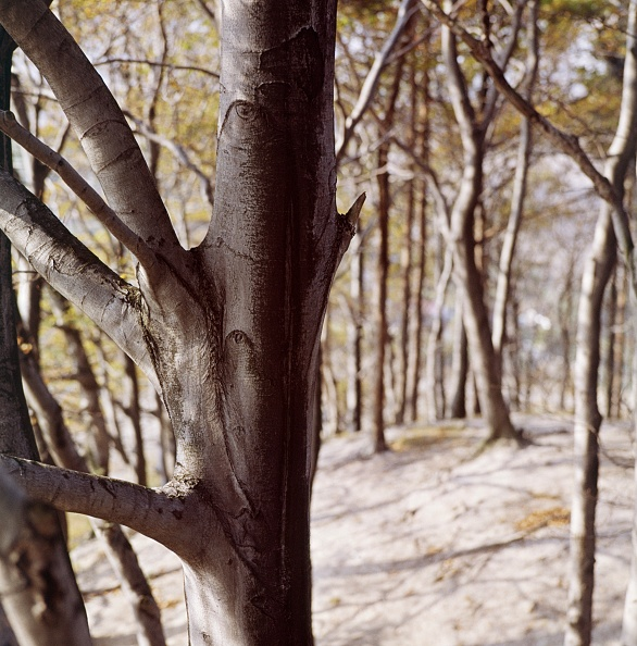 Beech Tree「Beech Wood」:写真・画像(0)[壁紙.com]