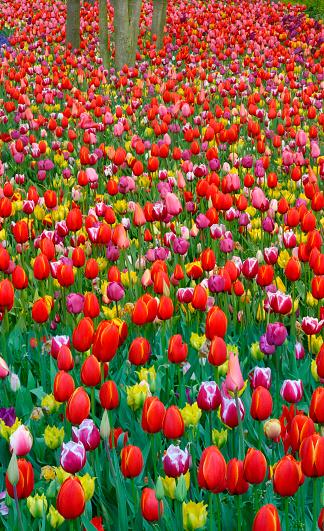 Keukenhof Gardens「Tulips」:スマホ壁紙(18)