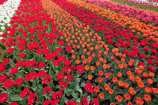 Keukenhof Gardens「Tulips」:スマホ壁紙(0)