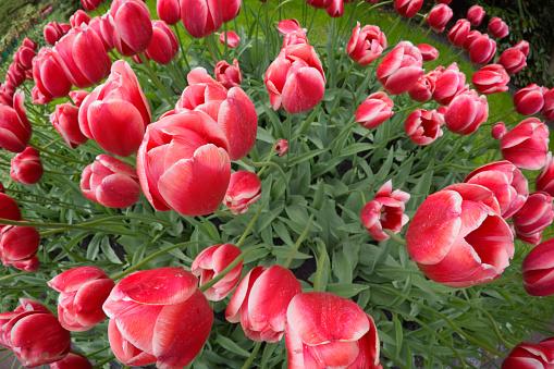 Keukenhof Gardens「Tulips」:スマホ壁紙(9)
