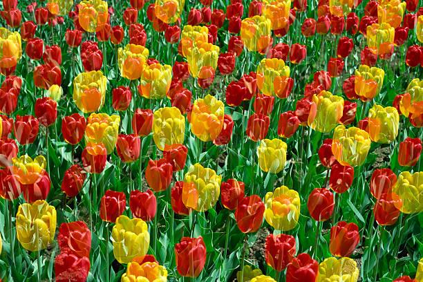 Tulips:スマホ壁紙(壁紙.com)