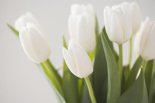 チューリップ「Tulips」:スマホ壁紙(14)