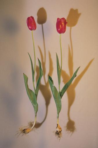 チューリップ「Tulips」:スマホ壁紙(3)