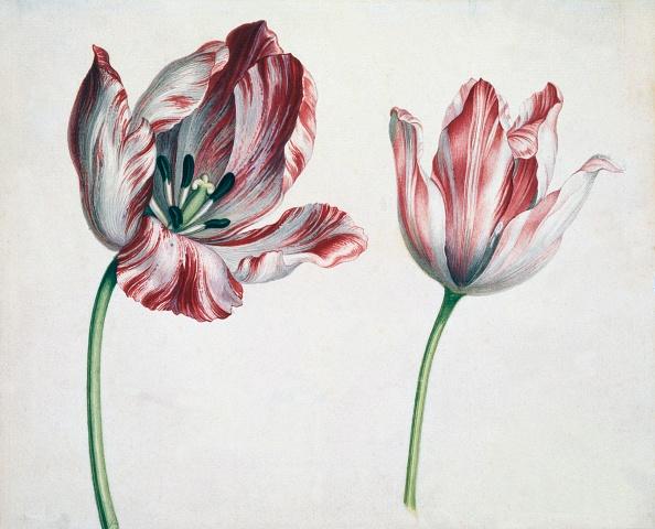 Stamen「Tulips」:写真・画像(8)[壁紙.com]