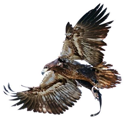 Gliding「Flying hawk on white background」:スマホ壁紙(15)