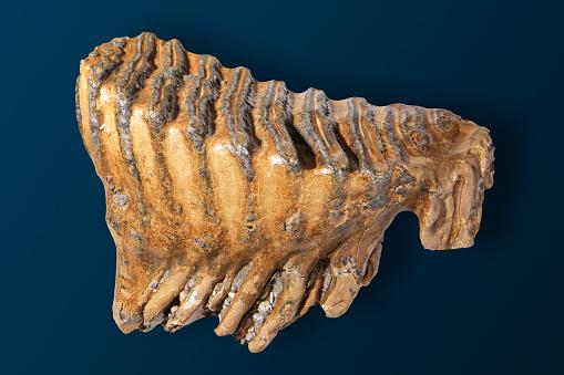 Specimen Holder「Back tooth of a mammoth」:スマホ壁紙(14)