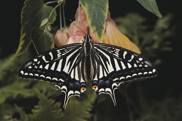 Butterfly - Insect「Japanese Swallowtail」:写真・画像(12)[壁紙.com]