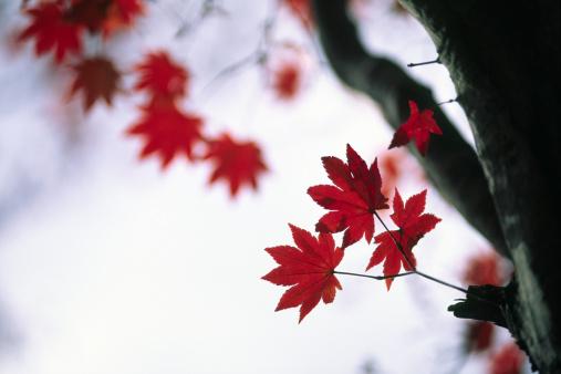 Japanese Maple「Japanese Fall Foliage」:スマホ壁紙(3)