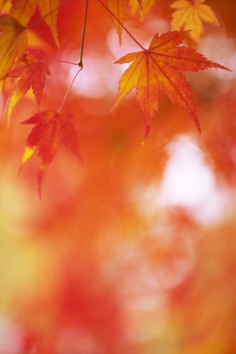 Japanese Maple「Japanese Fall Foliage」:スマホ壁紙(7)