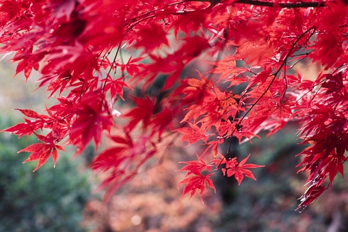 Japanese Maple「Japanese fall foliage」:スマホ壁紙(5)