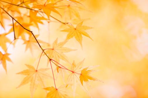 Japanese Maple「Japanese Fall Foliage」:スマホ壁紙(8)