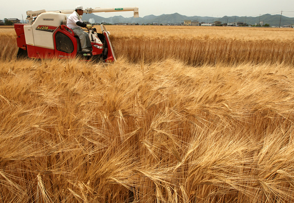 Wheat「Wheat Harvesting Season Begins In Japan」:写真・画像(6)[壁紙.com]
