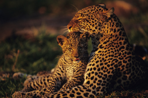 Love「Leopard mother and cub (Panthera pardus), resting in grass, Kenya」:スマホ壁紙(7)
