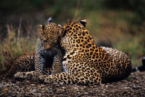 Love「Leopard mother grooming cub (Panthera pardus) lying on savannah, Kenya」:スマホ壁紙(5)
