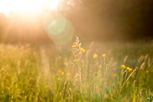 花畑「Buttercups on a meadow at evening light」:スマホ壁紙(15)