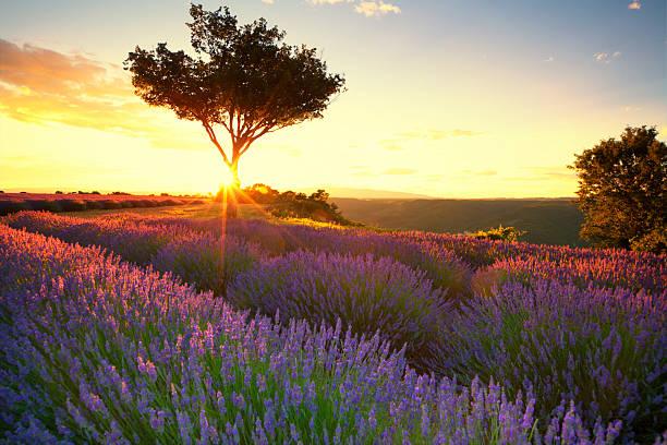 Lavender in Provence at sunset:スマホ壁紙(壁紙.com)
