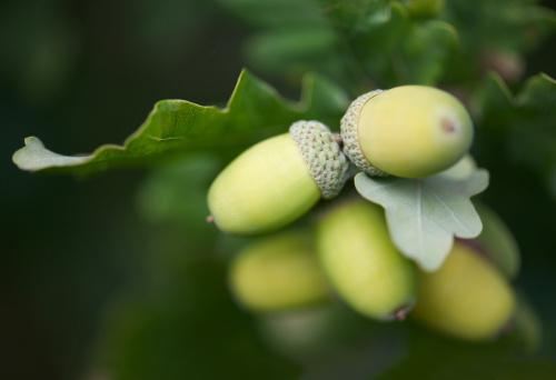 どんぐり セレクティブフォーカス「Cluster of acorns amongst oak leaves.」:スマホ壁紙(6)