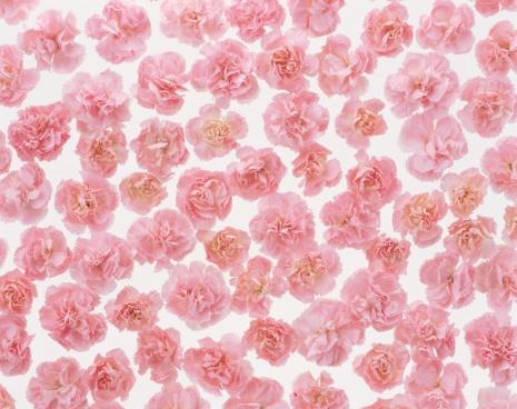 カーネーション「Cluster of carnations」:スマホ壁紙(8)