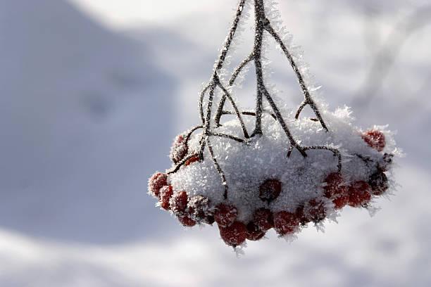Cluster of berries in frost:スマホ壁紙(壁紙.com)