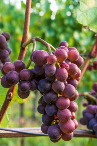 Grape「Cluster of grapes ripe red blue vine leaf grapevine vineyard」:スマホ壁紙(2)