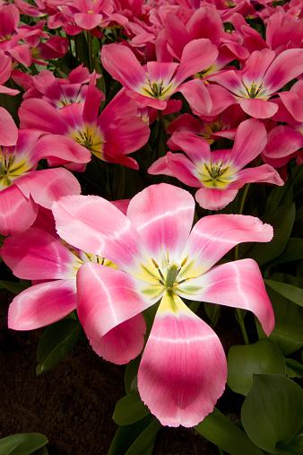 キューケンホフ公園「A cluster of pink tulips.」:スマホ壁紙(6)