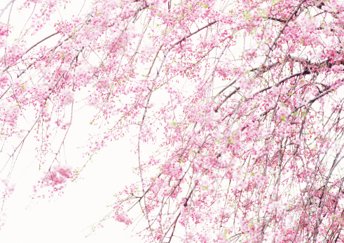桜「Weeping Japanese Cherry」:スマホ壁紙(17)