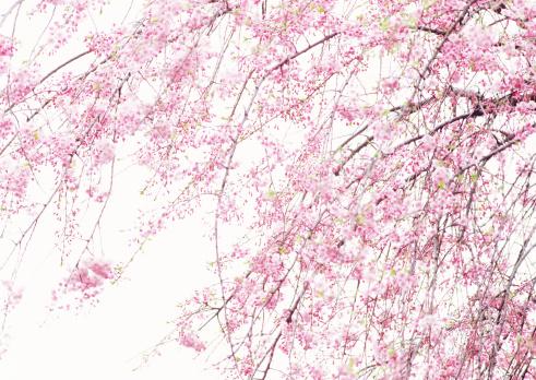 Cherry Blossom「Weeping Japanese Cherry」:スマホ壁紙(1)