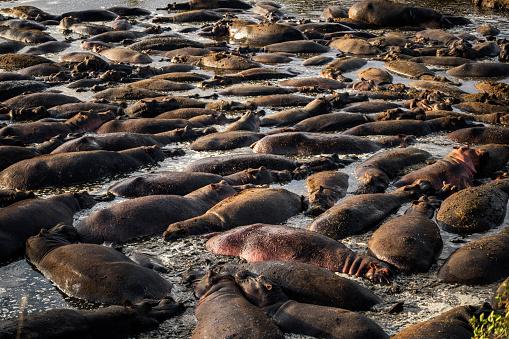 カバ「Group of hippo in the water」:スマホ壁紙(5)