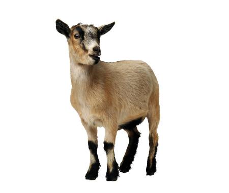 Goat「African pygmy goat」:スマホ壁紙(18)